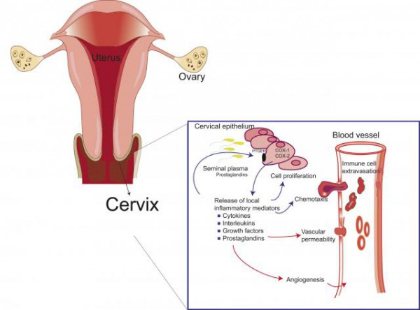 cervix diagrams and function