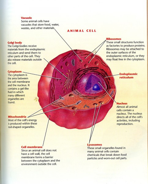diagram of animal cells with labels
