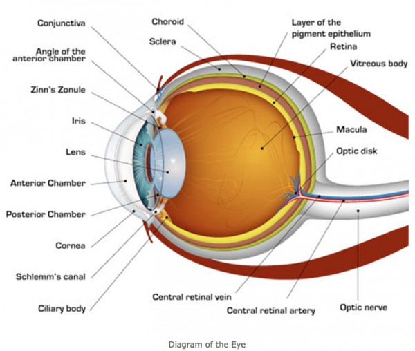 diagram of the eye for preschoolers