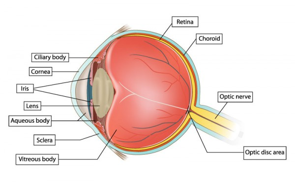 diagram of the eye to label