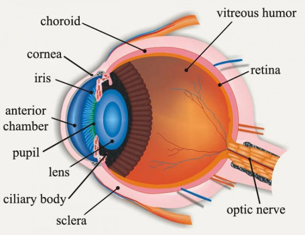 diagram of the eyeball