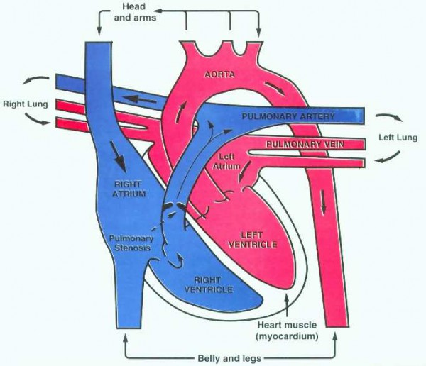 diagram of the heart blood flow