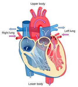 diagram of the heart labeled
