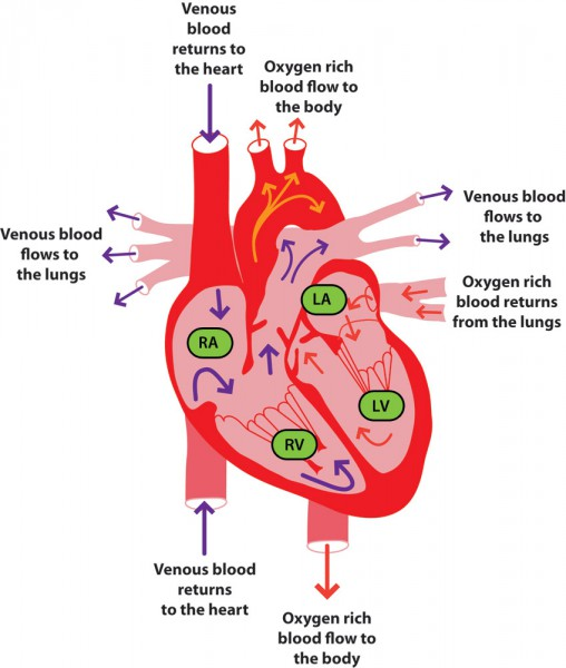 diagram of the heart quiz
