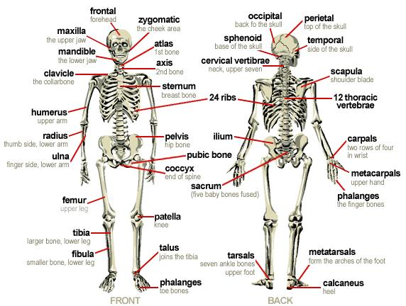 diagram of the human body bones