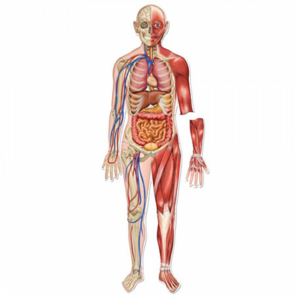 diagram of the human body muscles