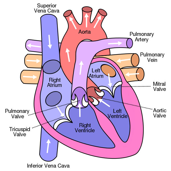 diagram of the human body organs location