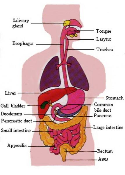 digestive system diagram quiz