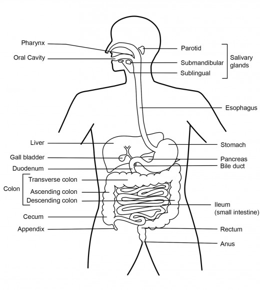 digestive system diagram worksheet