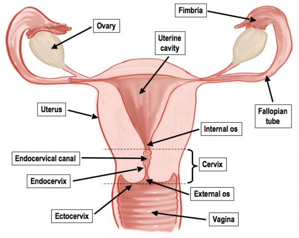 female reproductive system diagram worksheets