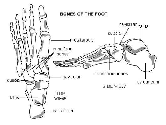 foot diagram bones