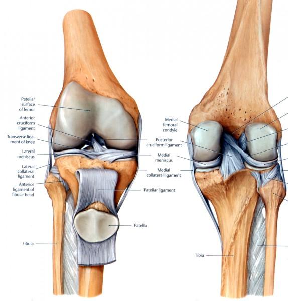 knee diagram meniscus