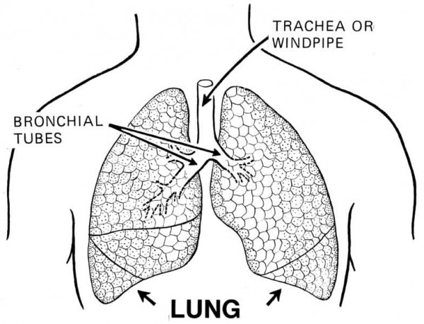 lung diagram for kids