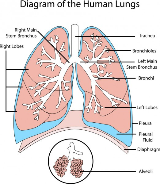 lung diagram with labels