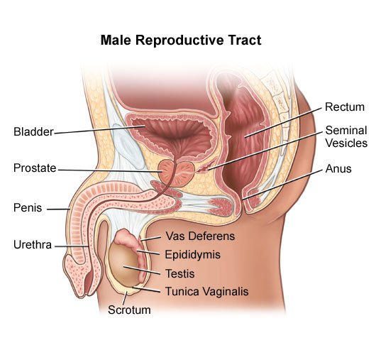 male reproductive system diagram blank