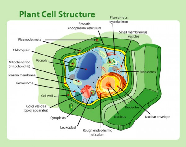 plant cell diagram and functions