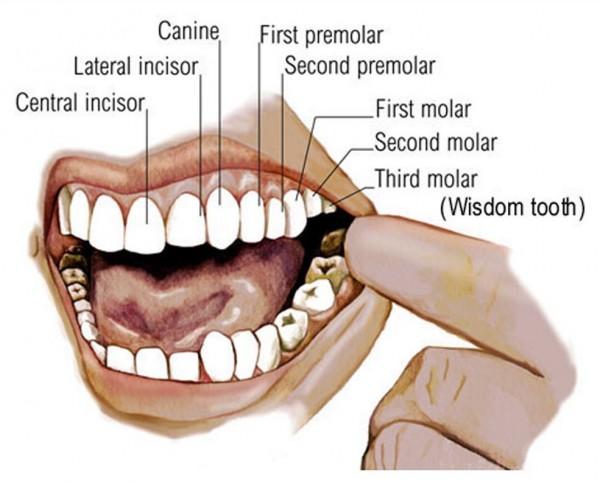 teeth diagram numbers
