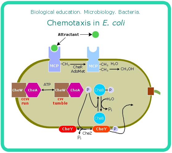 bacteria diagram