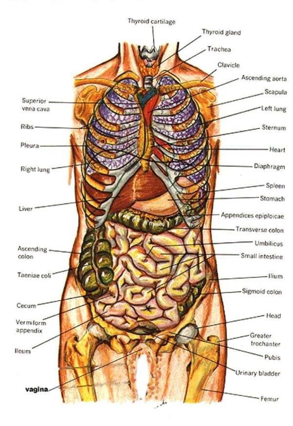 body organs diagram from back