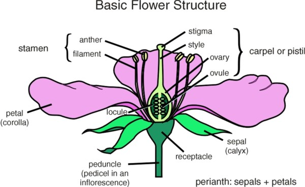 diagram of a flower with labels