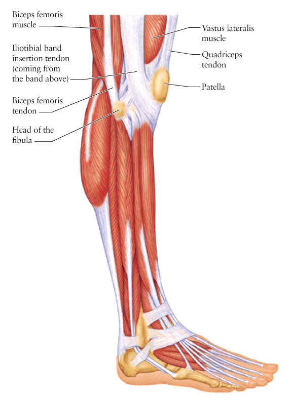 diagram of knee ligaments and tendons