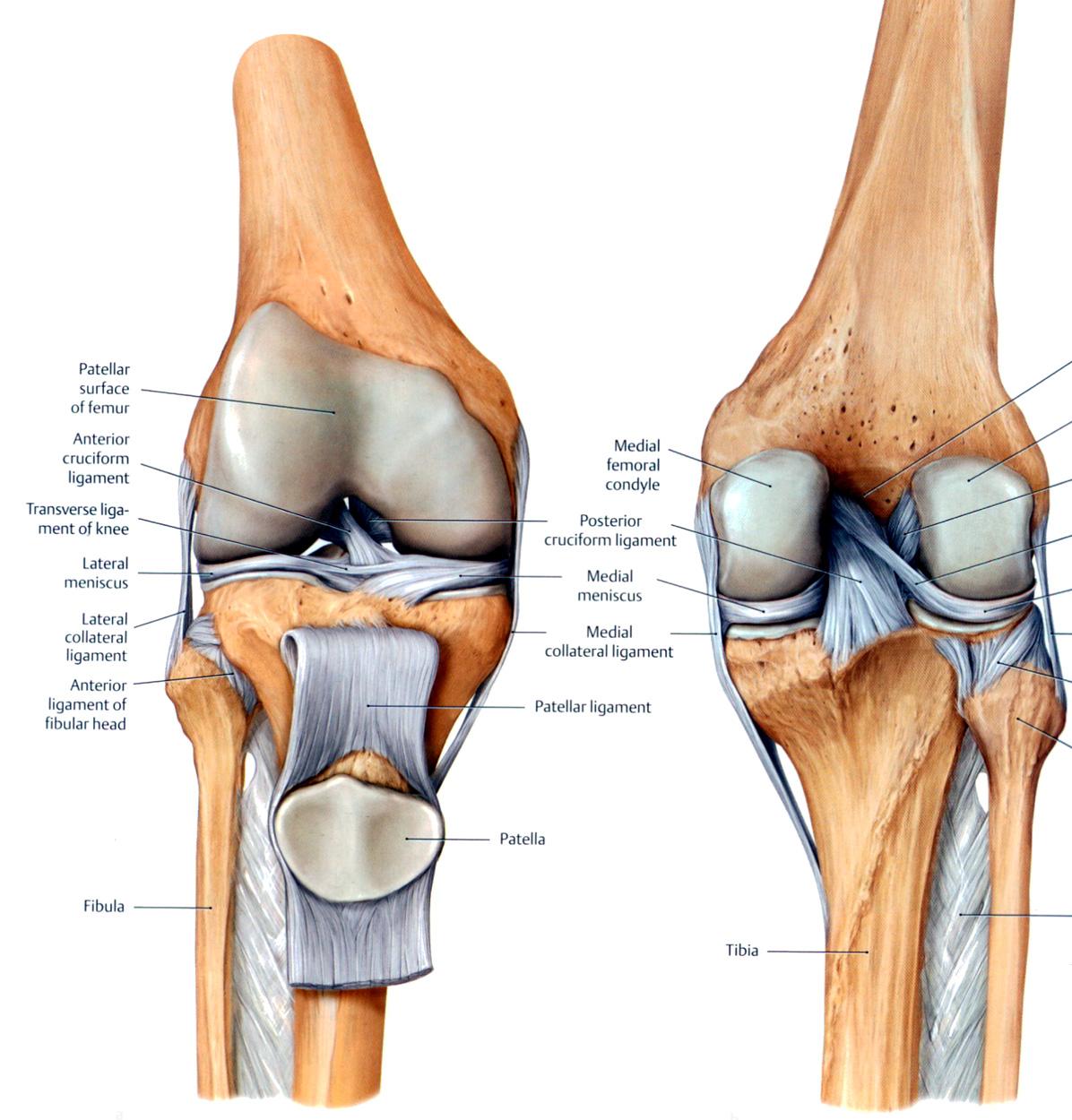 diagram of knee parts