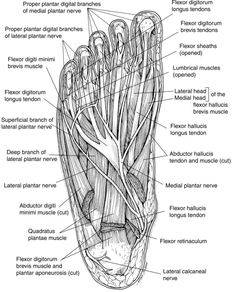 diagram of the foot and ankle
