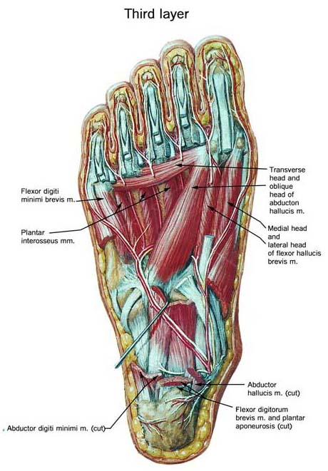diagram of the foot tendons and muscles