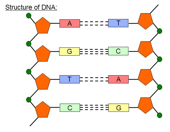 dna diagram for kids