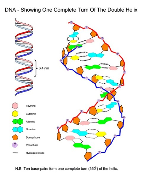 dna diagram to label