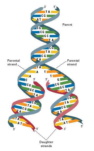 dna diagram worksheet