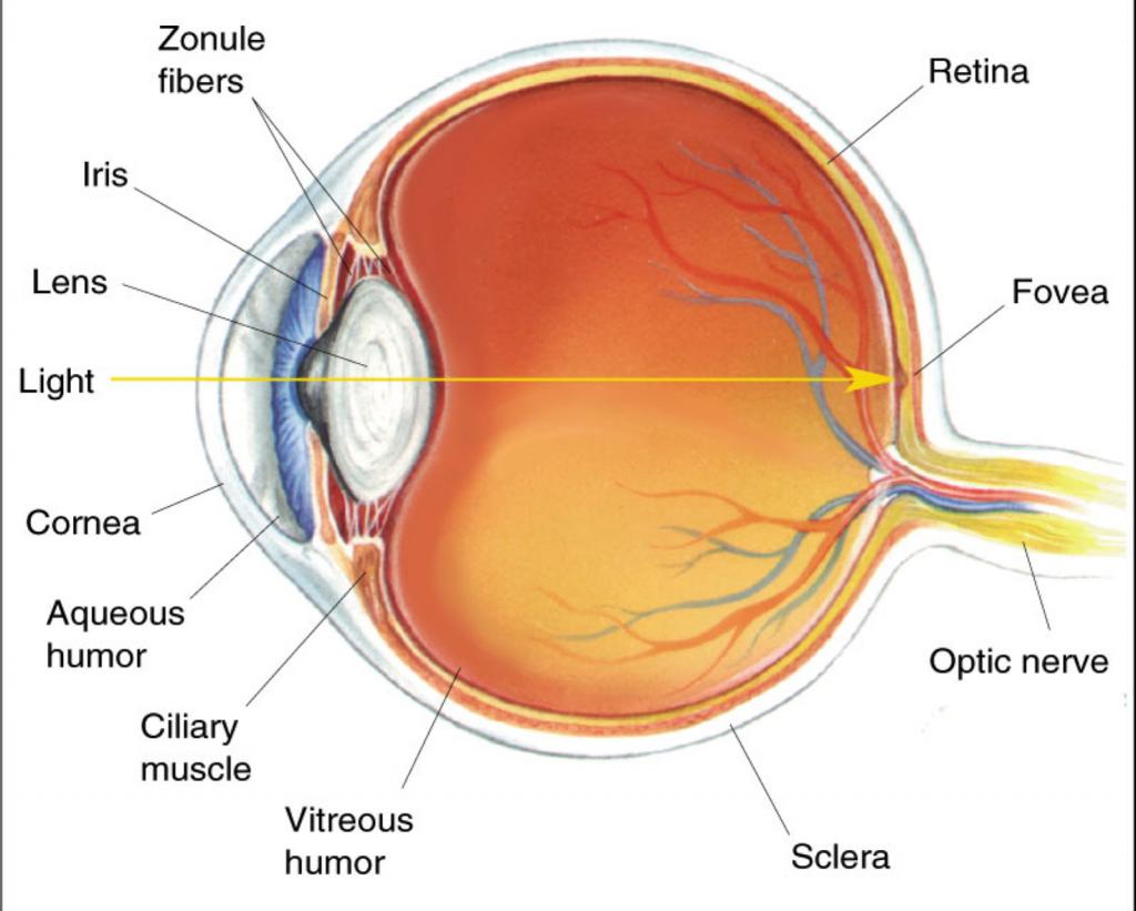 eyeball diagram worksheet