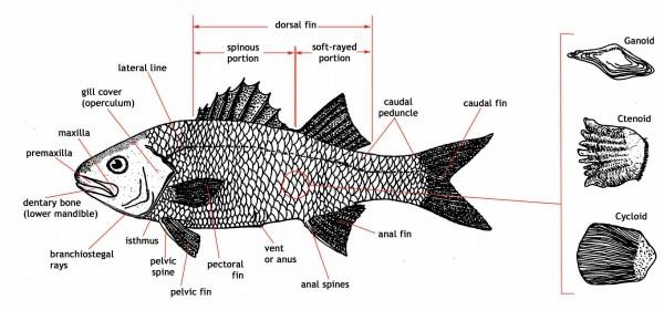 fish diagram template