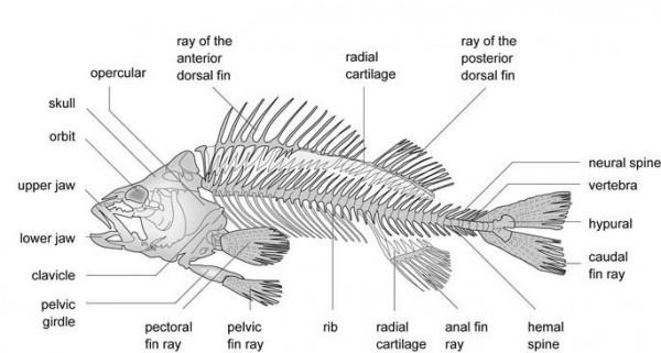 fish diagram visio