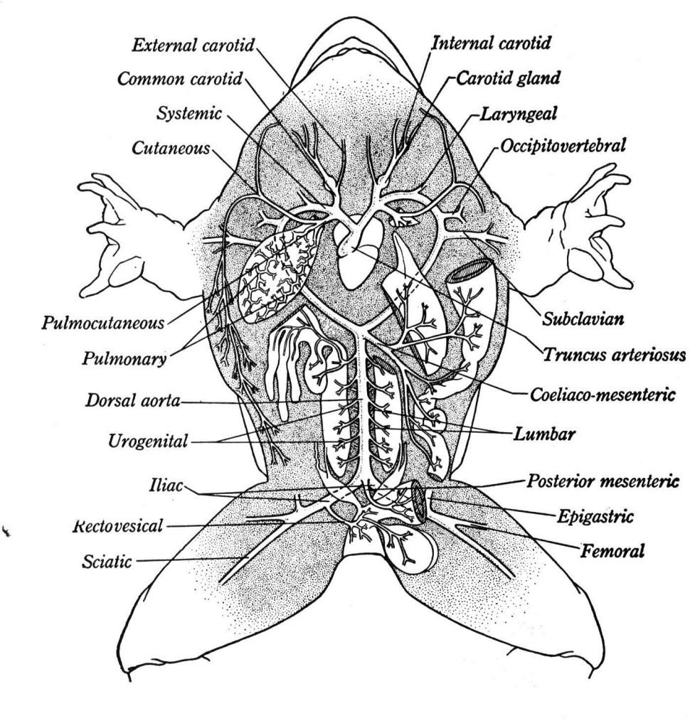 frog diagram labeled