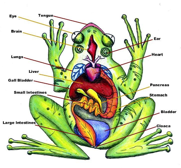 frog diagram worksheet