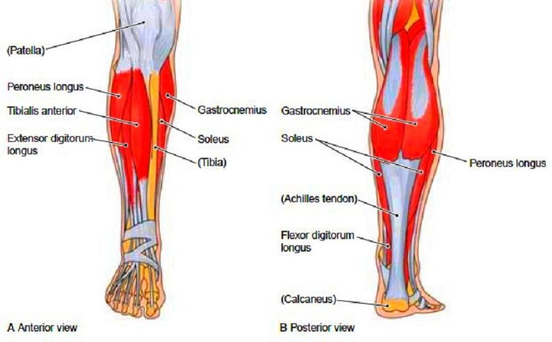 leg muscles diagram fill in blanks