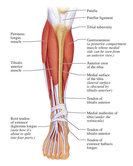 leg muscles diagram pain