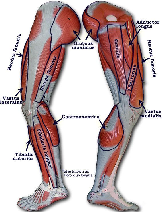 leg muscles diagram quad