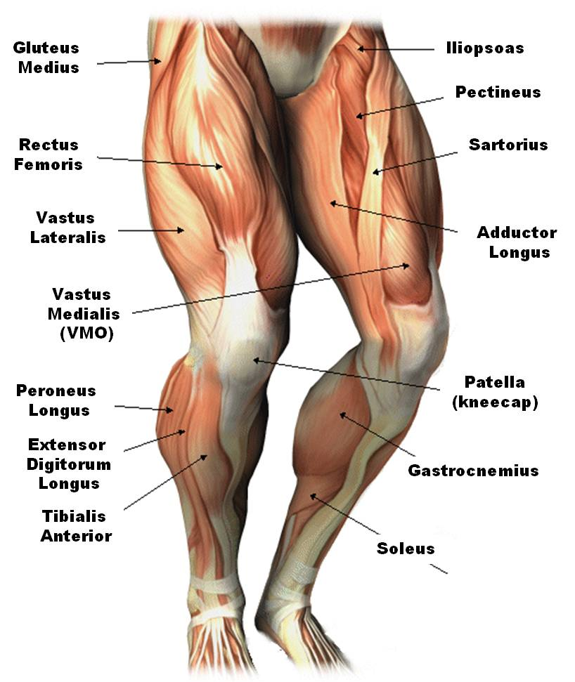 leg muscles diagram quiz