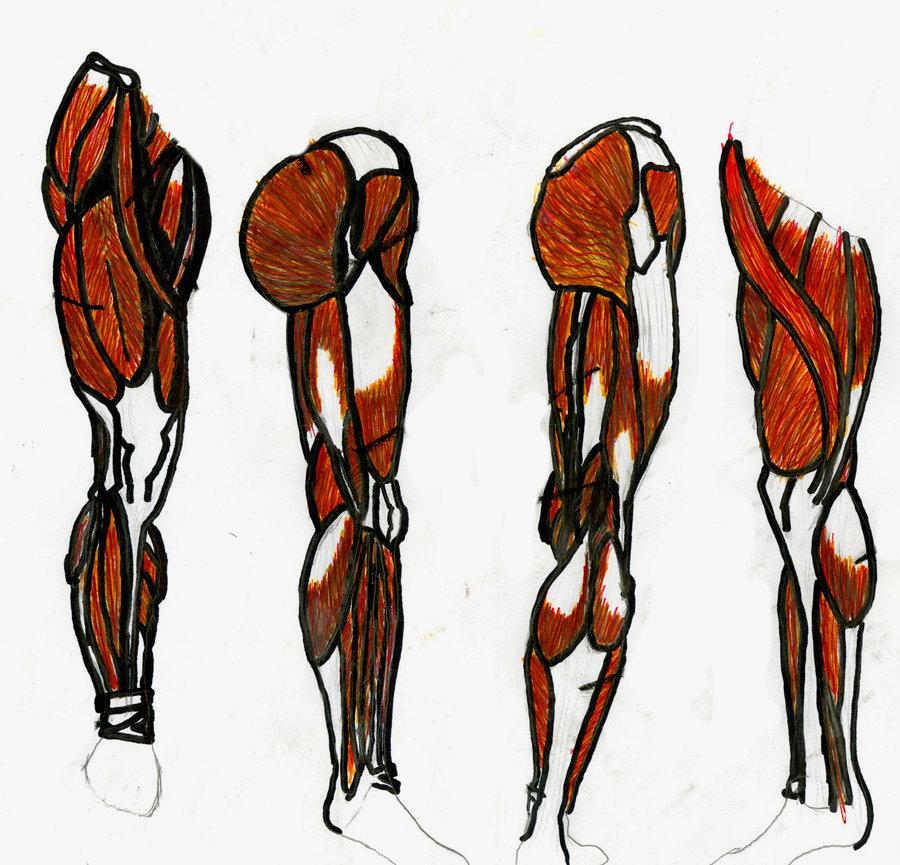 leg muscles diagram semitendinosus