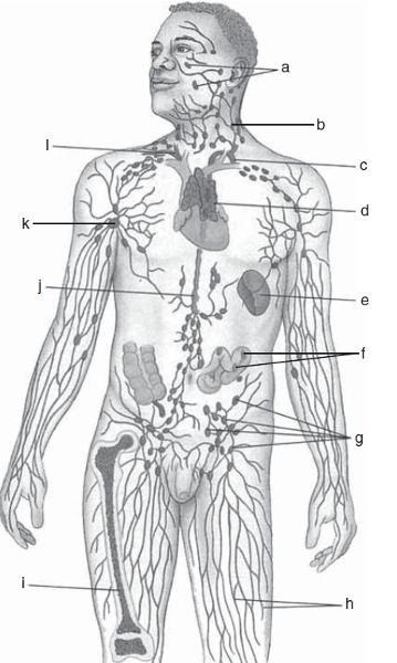 lymphatic system diagram lymph node
