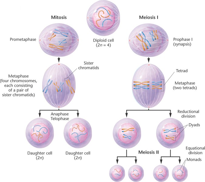 meiosis diagram with description