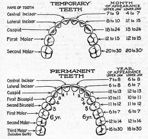 mouth diagram of teeth
