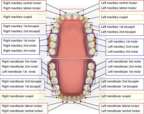 mouth diagram with teeth count