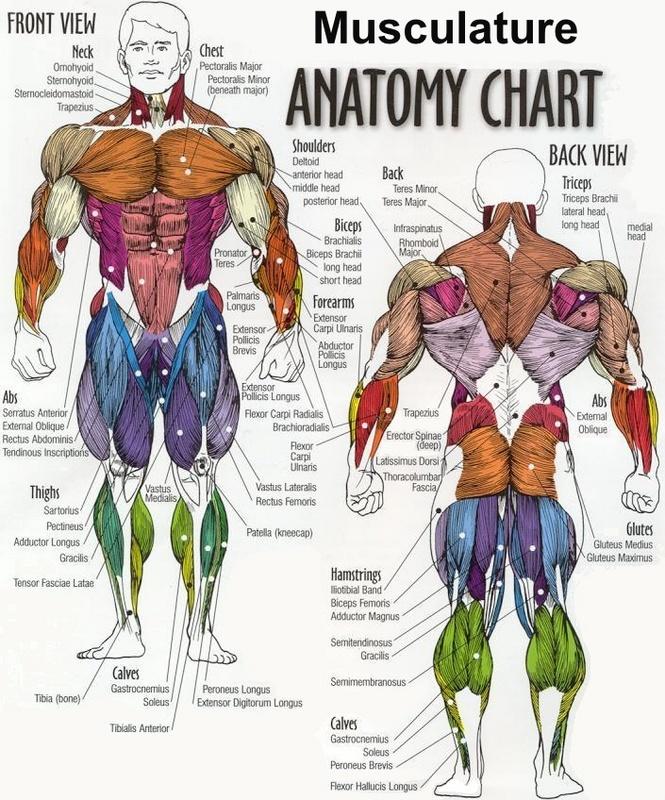 muscular system diagram quiz
