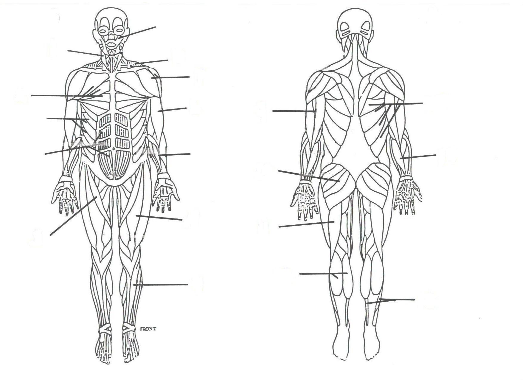 muscular system diagram with labels