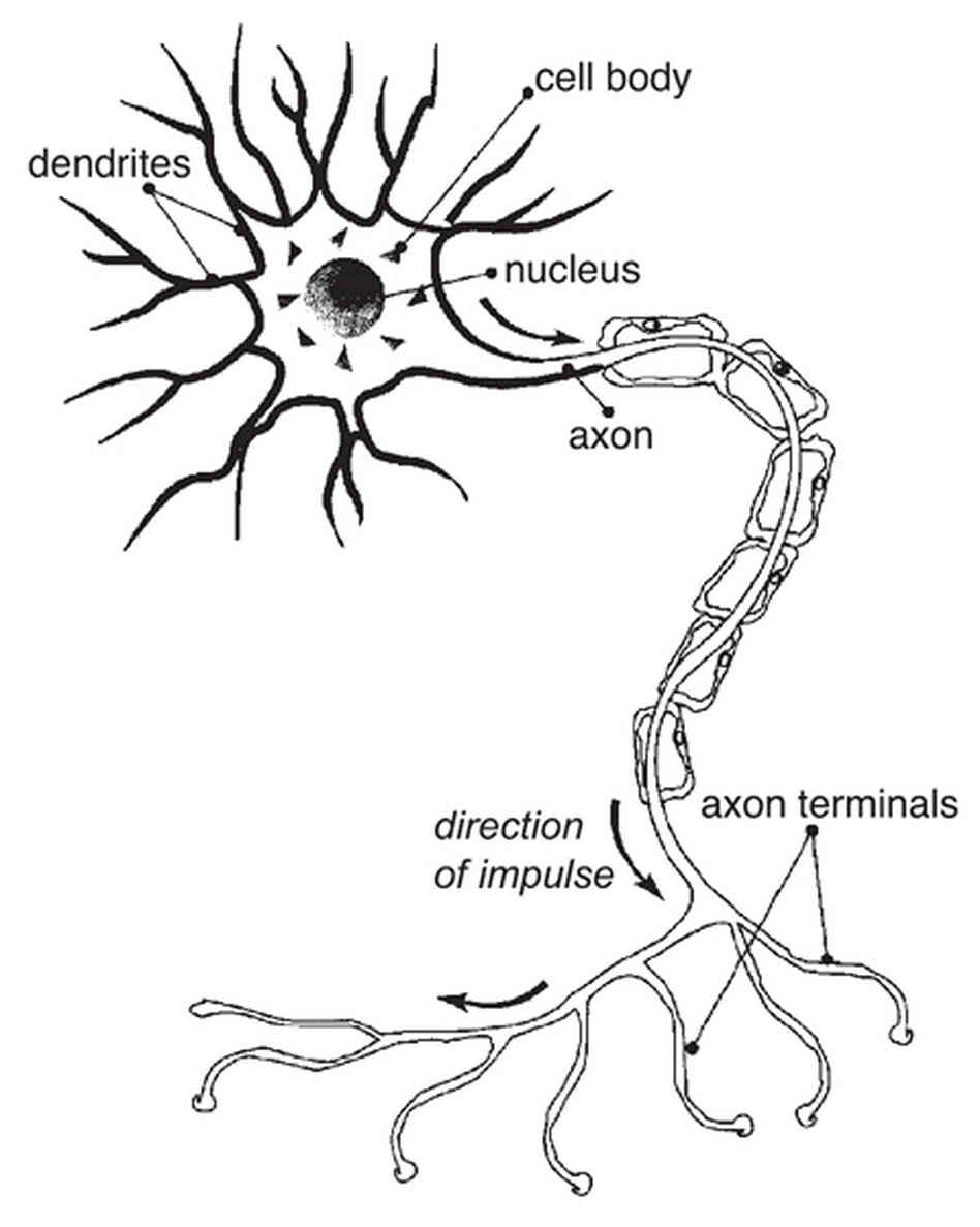 nerve cell diagram labeled with organelles
