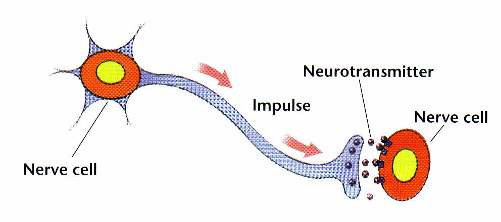 nerve cell diagram with labels