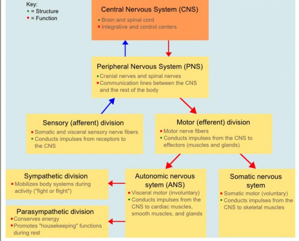 nervous system diagram chart